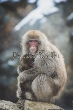 giappone yamanouchi jigokudani monkey park makak