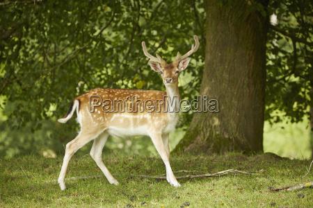 germania baviera sika cervi nella foresta