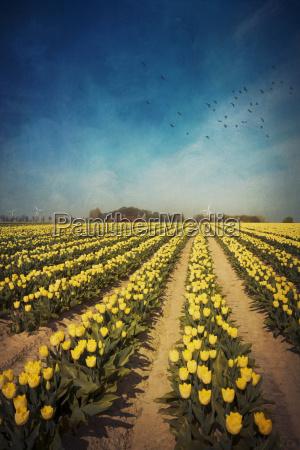 campo di tulipano giallo alienazione