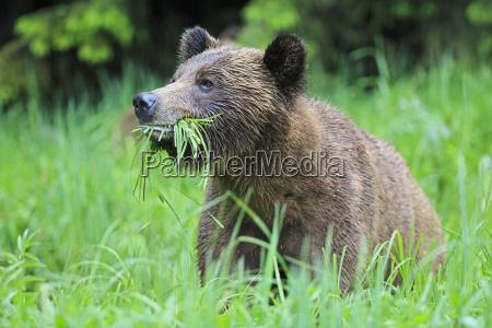 animale mammifero orso canada allaperto giorno