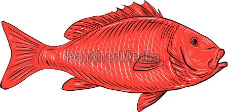 australasian snapper swimming drawing