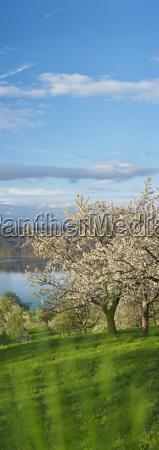 germany bavaria cherry trees with lake