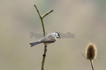 germania cincia bigia seduto sul ramoscello