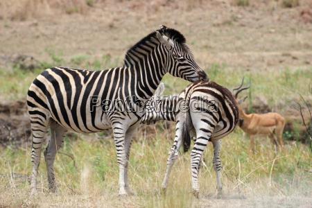 parco animale mammifero selvaggio africa savana