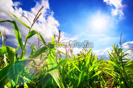 campo di mais con il sole