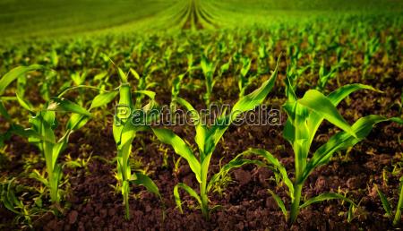 agricoltura campo coltivazione mais terreno terriccio