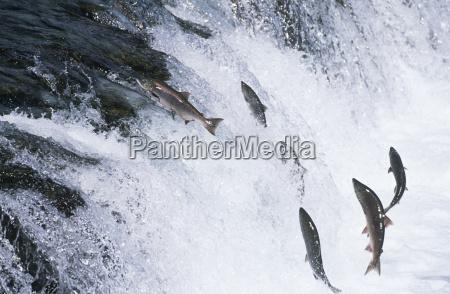 gruppo di salmone che salta a