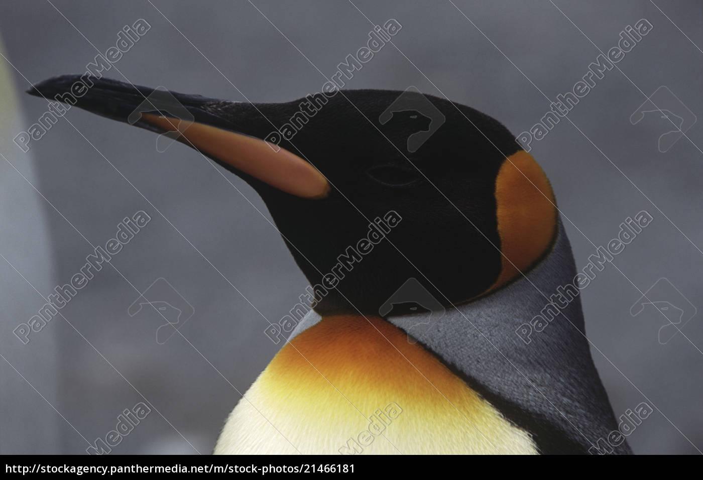primo, piano, di, king, penguin, (aptenodytes - 21466181
