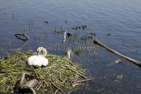 uccello cigno nido uova allevamento acqua