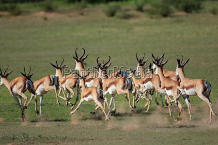 antilopi di springbok