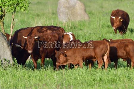mucca bovino mandria salice