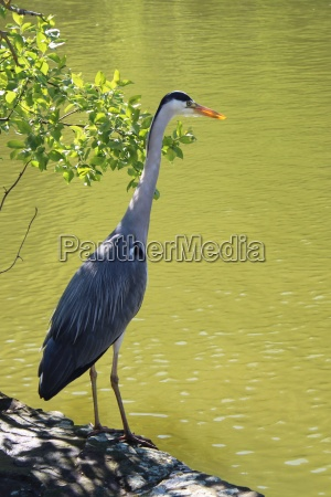 the, grey, heron, is, lurking, for - 22175463