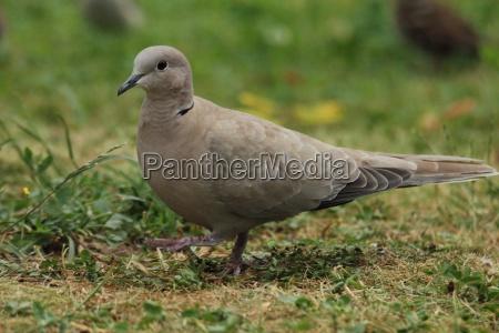 walking dove in a garden