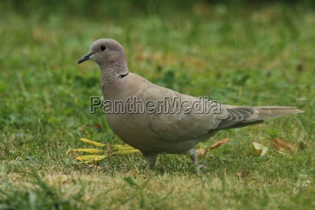 pigeon, in, the, green - 22444769