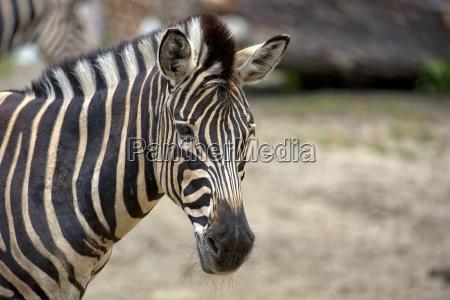 animale selvaggio africa nero zebra africano