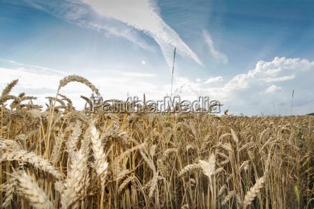 weizenfeld im sommer bei blauem himmel