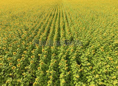 veduta aerea di campi agricoli fioritura