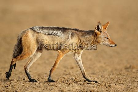 animale africa natura predatore sciacallo