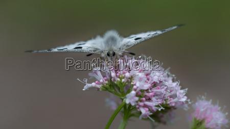 farfalla raro estinzione