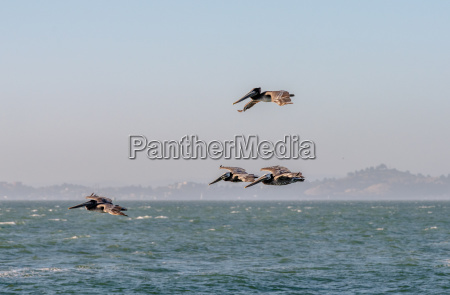 brown pelicans flying over the pacific