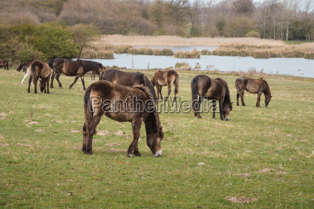 exmoor ponies in denmark