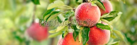 albero giardino ramo frutta mele mela