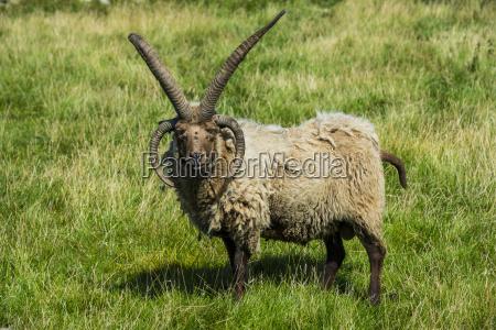 pecore di manx loaghtan a quattro