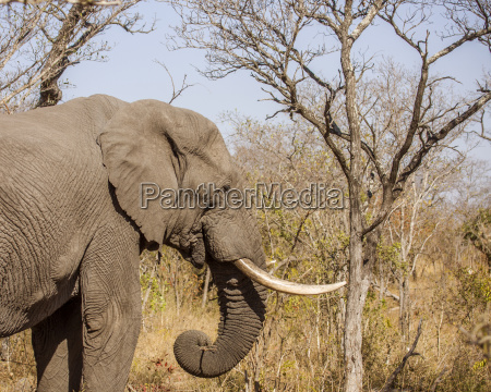 chiudere africa elefante zanna savana secco
