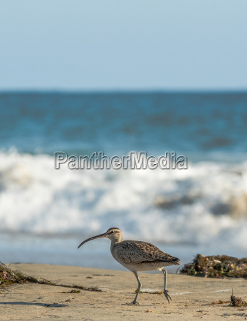 whimbrel shore bird walking on the