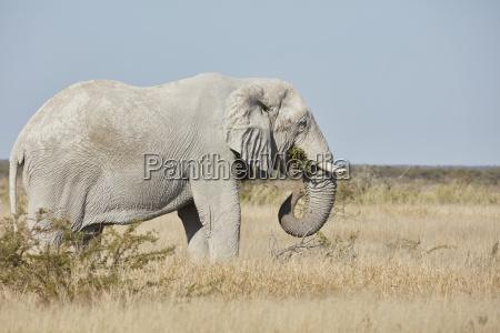 orizzonte animale mammifero africa elefante zanna