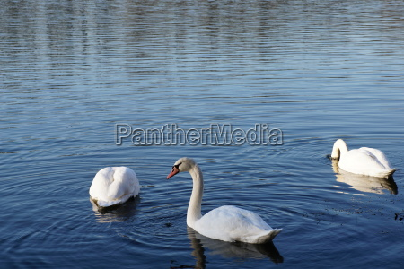 three swans on the lake