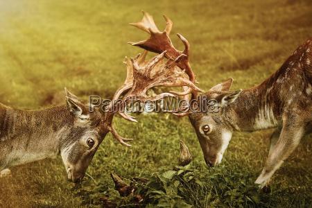primo piano della lotta dei cervi