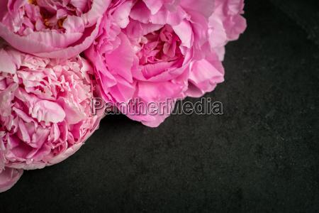 bello bella fiore pianta peonia fioritura