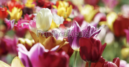tulips spring colors colorful