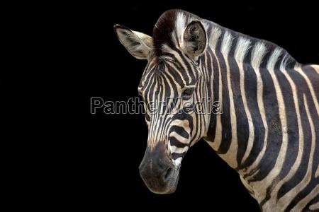zebra su sfondo nero