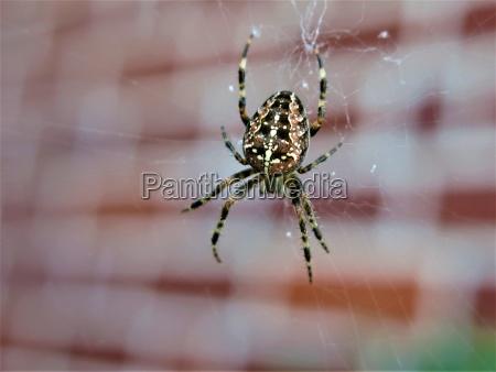 animale insetto ragno rete natura ragnatela