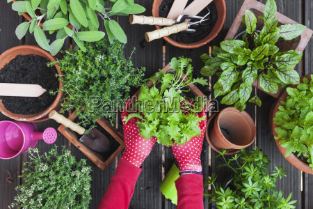 mani della donna che piantano erbe