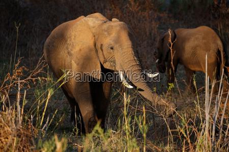 africa elefante natura sudafrica nutriente alimentazione