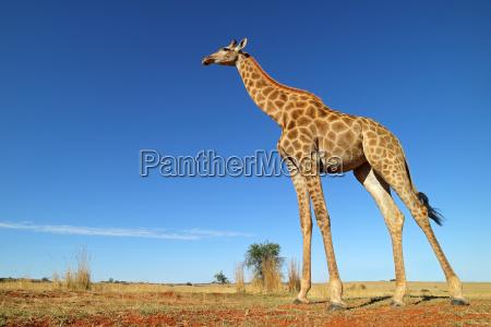 gambe africa sudafrica safari giraffa alto