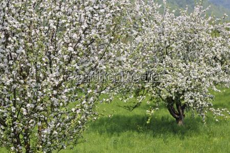 flowering fruit trees wachau niederosterreich austria