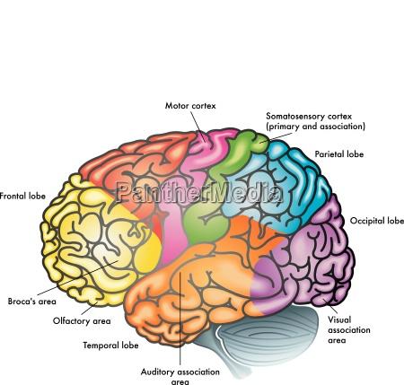 cervello areas of the brain brain