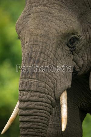 primo piano animale africa elefante zanna