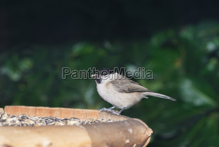 blackcap at the feeding place