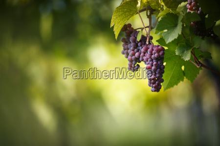 grandi grappoli di uva da vino