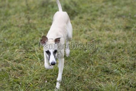 animale animali orizzontale cane levriero in