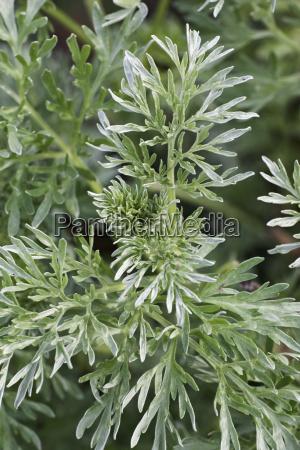 medico medicina foglie flora botanica europa