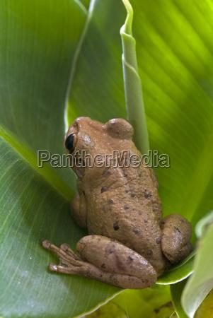 cuban tree frog osteopilus septentrionalis schwaz