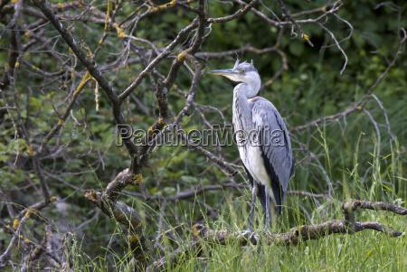 gray heron ardea cinerea kramsach north