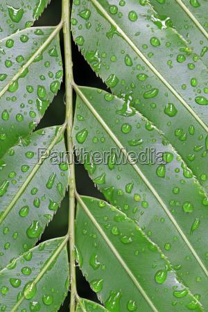 leaves with dewdrops cycads stenochlaena tenuifolia