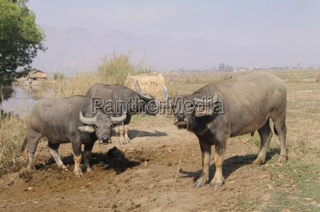 water buffalo bubalus arnee nyaungshwe inle